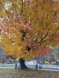 Historic Sugar Maple in glorious gold